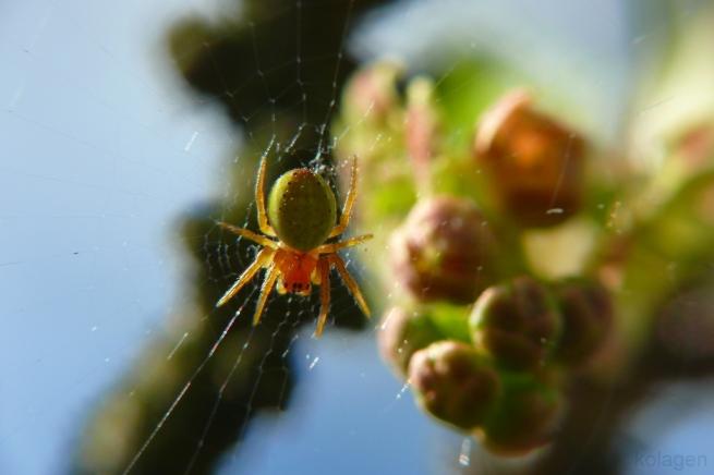 krzyżak zielony (Araniella sp.)