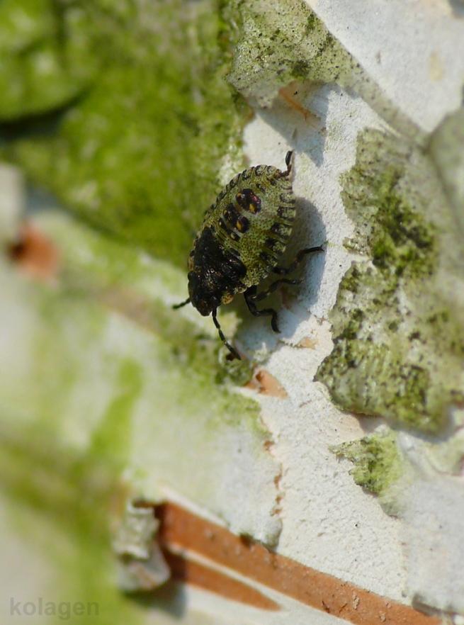 larwa odorka (Palomena sp.)