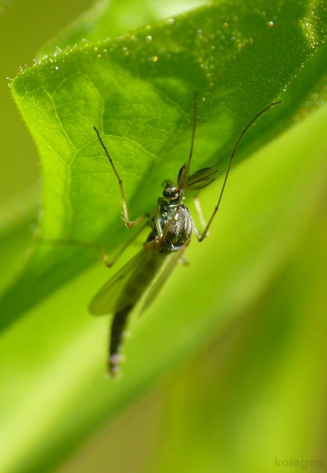 ochotka (Chironomidae)