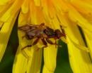 podścianka (Myopa sp.)