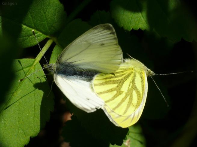 bielinki bytomkowce (Pieris napi)