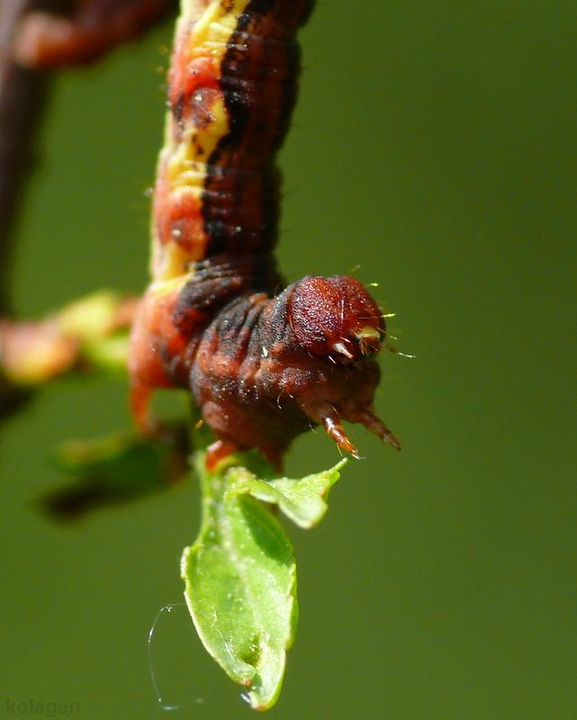 zimowek ogołotniak (Erannis defoliaria) - gąsienica