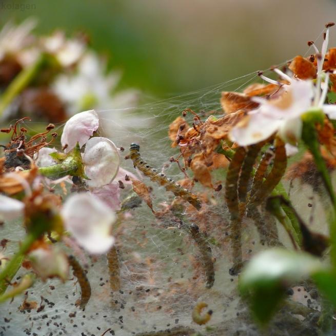 namiotnikowce (Yponomeutidae sp.) - gąsienice
