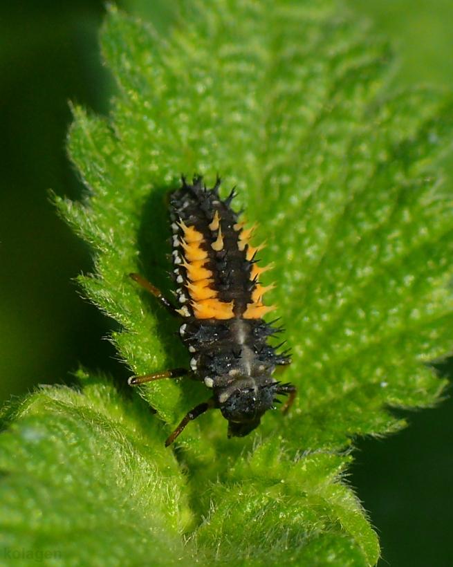 biedronka arlekin (Harmonia axyridis) - larwa