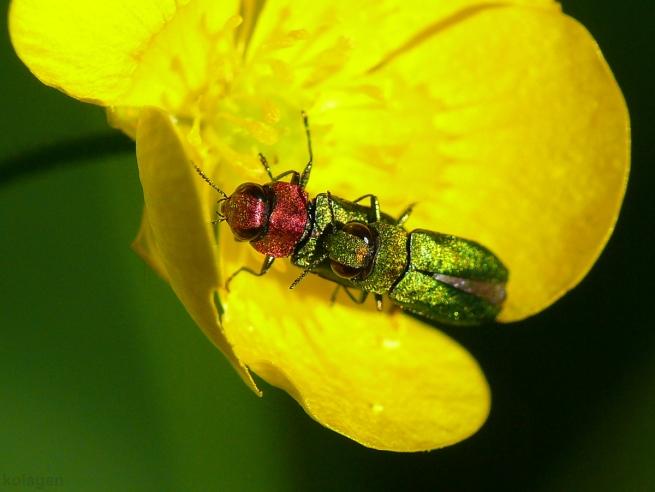 kwietniczki dwojaczki (Anthaxia nitidula)